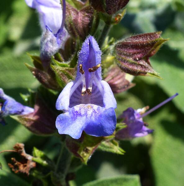 Salvia officinalis L. 'Maxima'