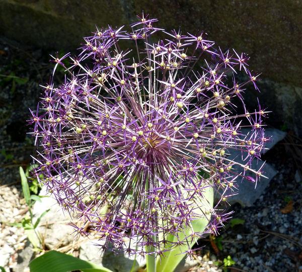 Allium cristophii Trautv.