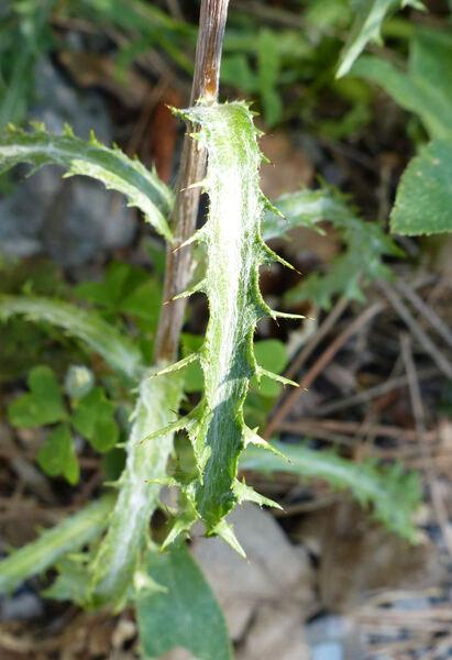 Carlina vulgaris L.