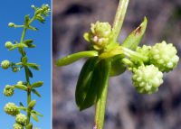 Galium verrucosum Huds. subsp. halophilum (Ponzo) Lambinon