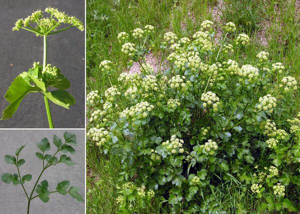 Apium graveolens L. s.l.