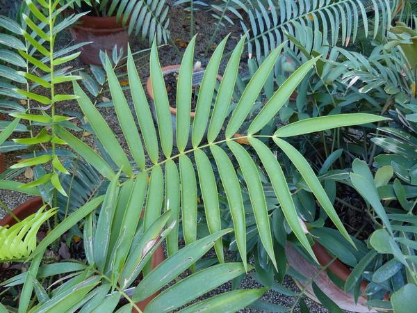 Ceratozamia mexicana Brongn.