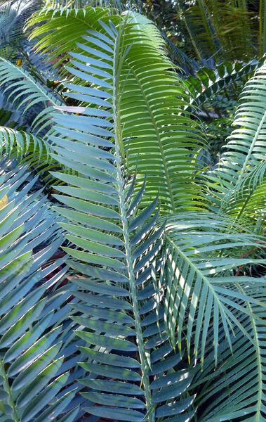 Encephalartos munchii R.A.Dyer & I.Verd.