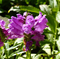 Physostegia virginiana (L.) Benth.
