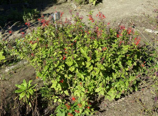 Salvia coccinea P.J. Buchoz ex Etlinger