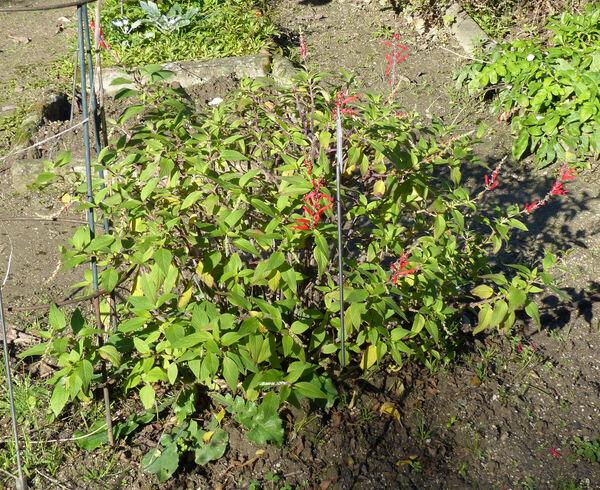 Salvia elegans Vahl