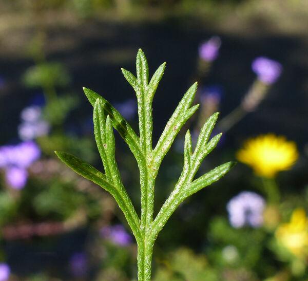 Glandularia tenera (Spreng.) Cabrera