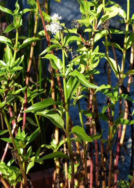Gymnocoronis spilanthoides (D.Don ex Hook. & Arn.) DC.