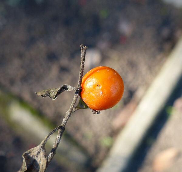 Solanum pseudocapsicum L.