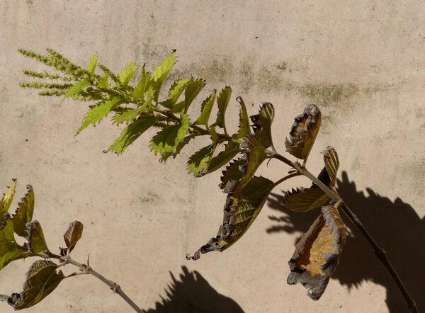 Boehmeria japonica (L.f.) Miq.
