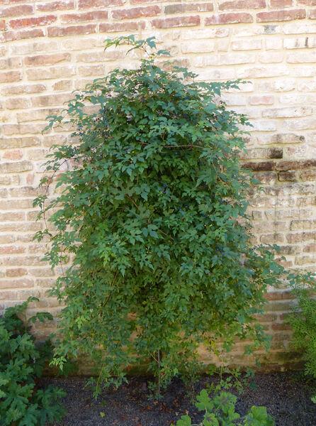 Ampelopsis brevipedunculata (Maxim.) Trautv. 'Elegans'