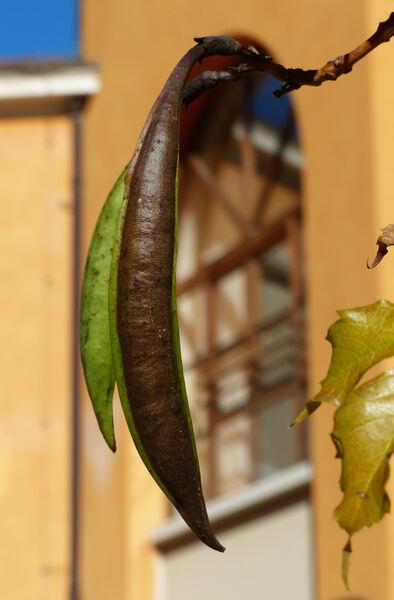 Campsis radicans (L.) Bureau 'Atropurpurea'