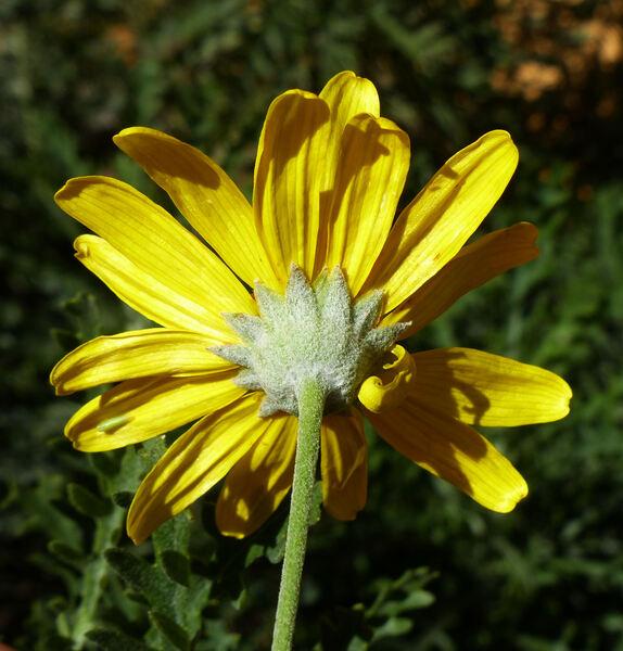 Euryops pectinatus Cass.