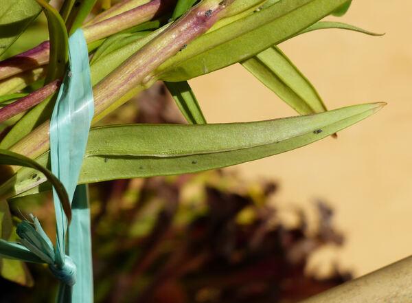 Gentiana pneumonanthe L. subsp. pneumonanthe