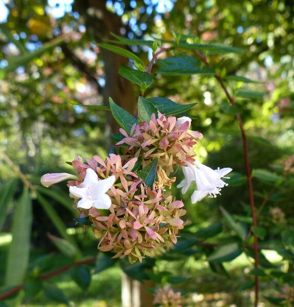 Abelia triflora R.Br. ex Wall.