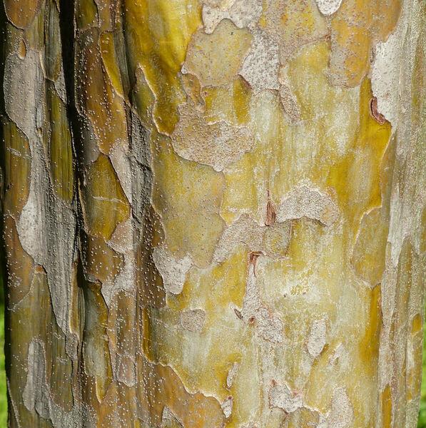 Pseudocydonia sinensis (Thouin) C.K. Schneid.