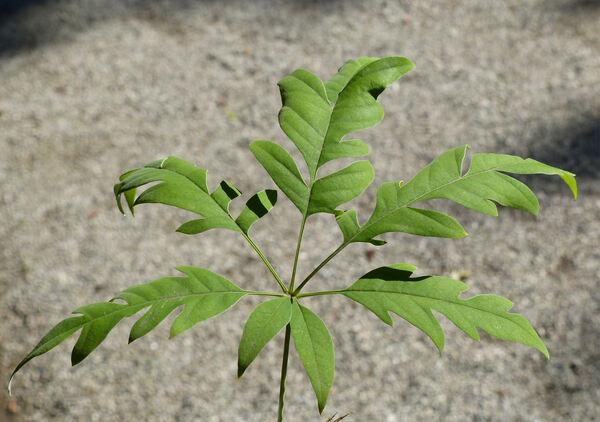 Vitex negundo L. var. heterophylla (Franch.) Rehder