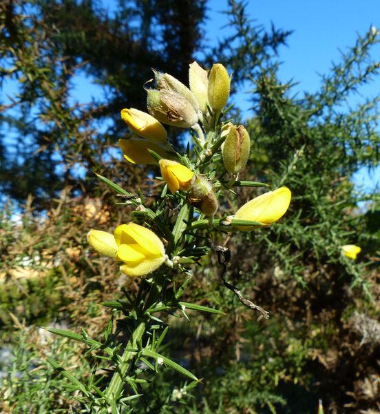 Ulex europaeus L. subsp. europaeus