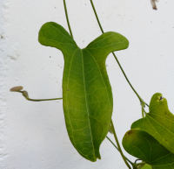 Aristolochia odoratissima L.