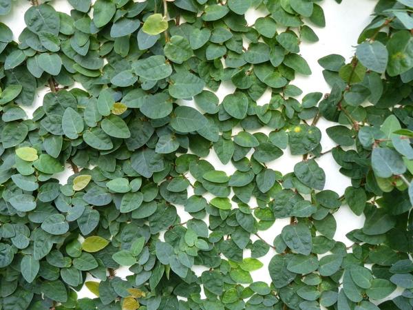 Ficus pumila L.