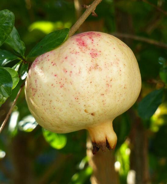 Punica granatum L.