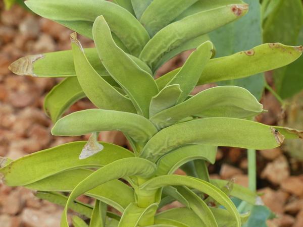Crassula perfoliata L.