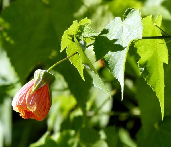 Abutilon pictum (Gillies ex Hook. & Arn.) Walp.