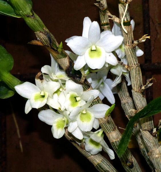 Dendrobium 'Angel Baby Love Pocket'