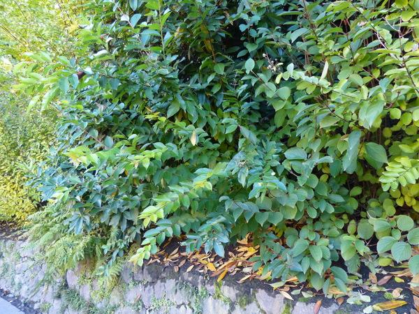 Viburnum erubescens Wall. ex DC.