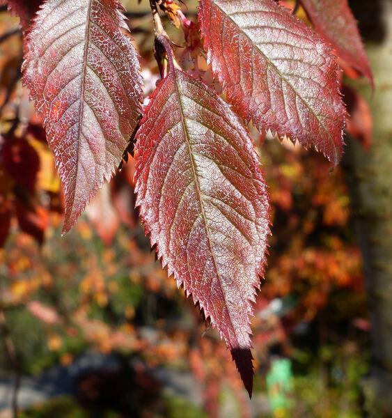 Prunus subhirtella Miq. 'Autumnalis Rosea'