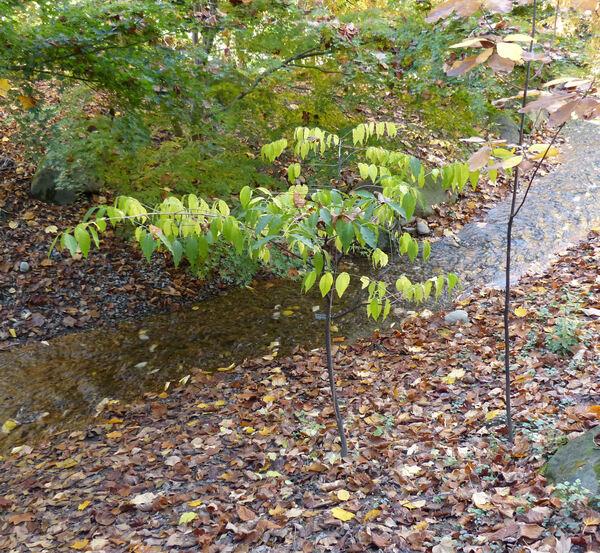 Euonymus alatus (Thunb.) Siebold var. apterus Regel