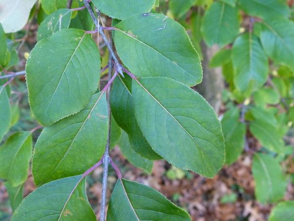 Viburnum nudum L. var. cassinoides (L.) Torr. & A. Gray