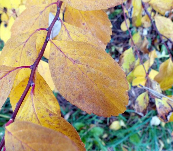 Spiraea betulifolia Pursh var. aemiliana (C.K.Schneid.) Koidz.