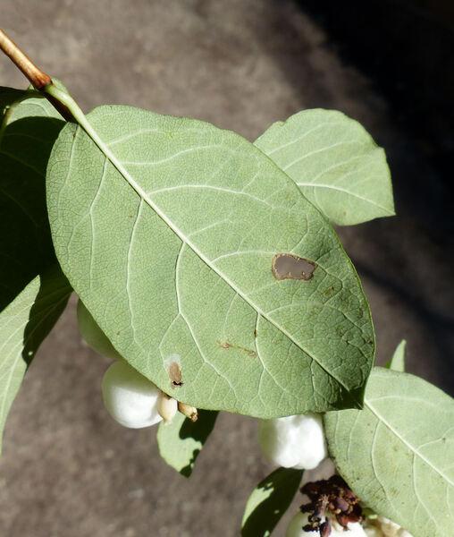 Symphoricarpos albus (L.) S.F.Blake