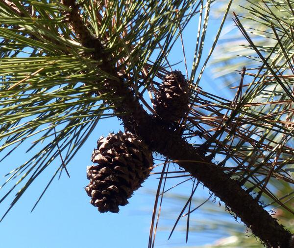 Pinus ponderosa P. Lawson & C. Lawson