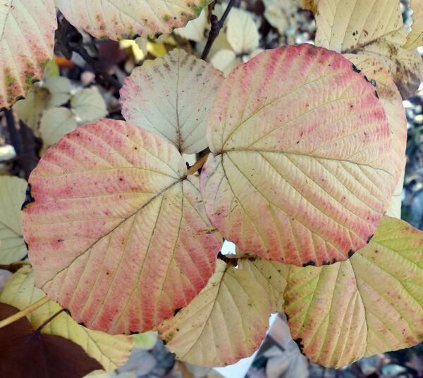 Viburnum wrightii Miq.