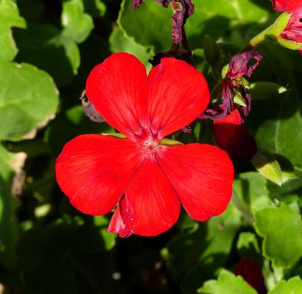 Pelargonium 'Top Champion Single Red'