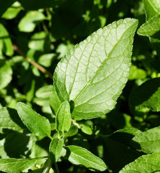 Salvia microphylla Kunth 'Huntigton'