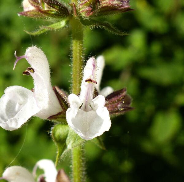 Salvia staminea Montbr. & Aucher ex Benth.
