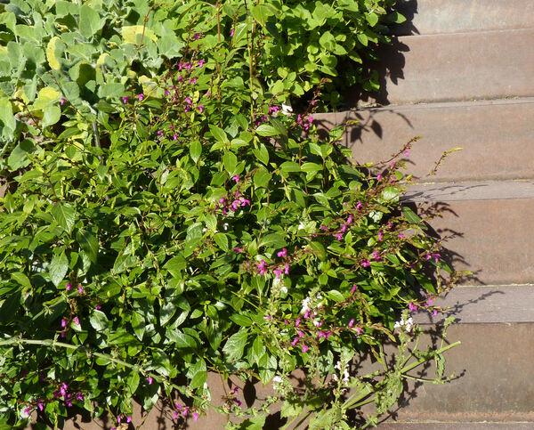 Salvia chiapensis Fernald