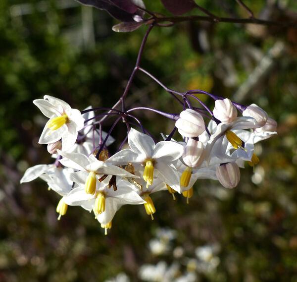 Solanum jasminoides Paxton 'Alba'