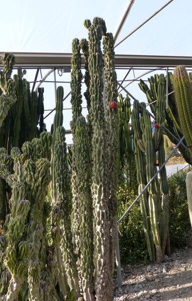 Cereus hildmannianus K. Schum. 'Monstruosus'