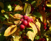 Malus x robusta hort. 'Red Sentinel'