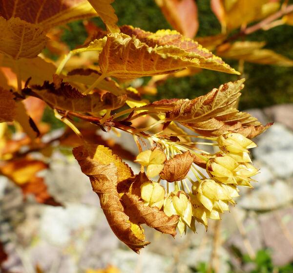 Physocarpus opulifolius (L.) Maxim.