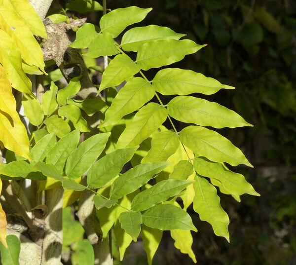 Wisteria floribunda (Willd.) DC. 'Multijuga'