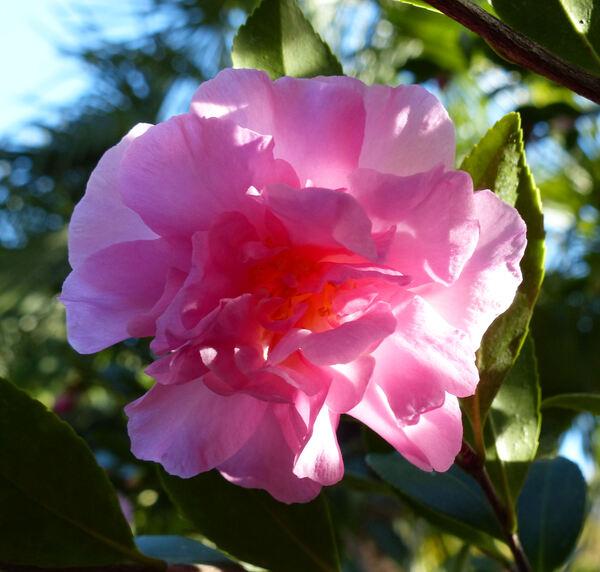 Camellia japonica L. 'Marta Piffaretti'