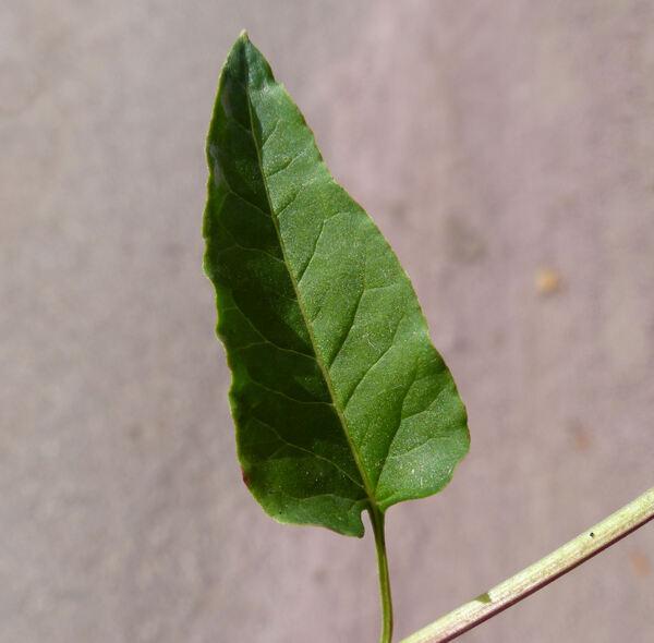 Fallopia baldschuanica (Regel) Holub