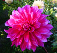 Dahlia 'Babylon Purple'