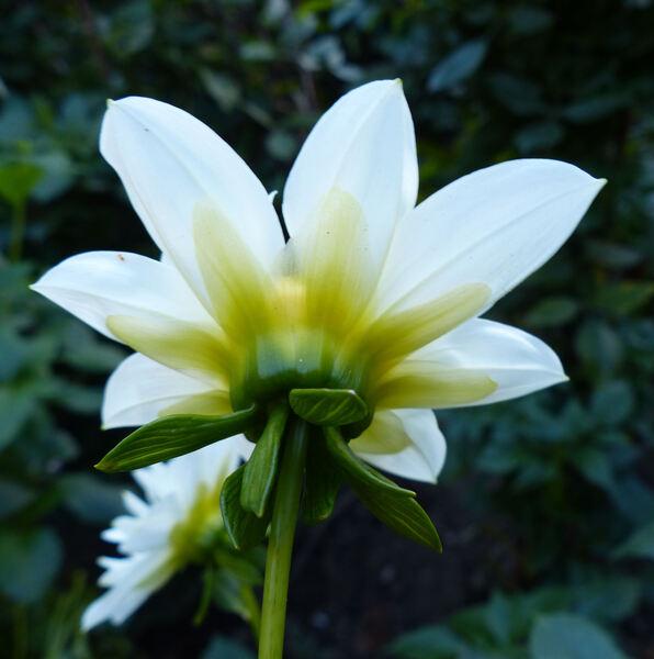 Dahlia 'Brides Bouquet'