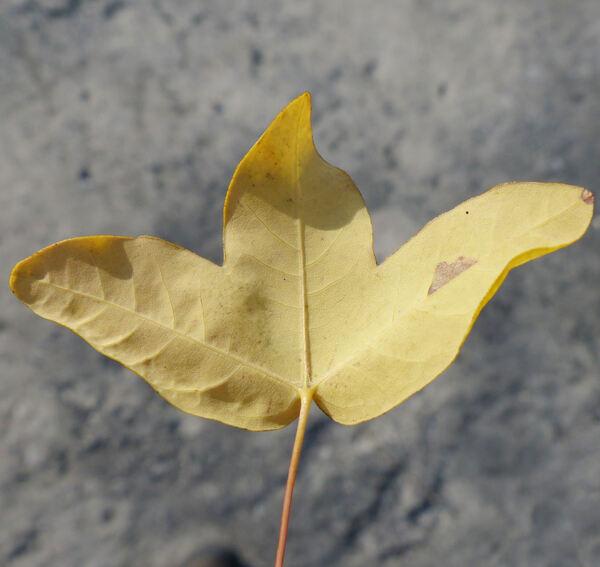 Acer monspessulanum L. subsp. monspessulanum